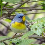 Bird Walk May 18, 2014