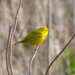 Bird Walk with Bob Mayer: May 5, 8 – 9:30 AM