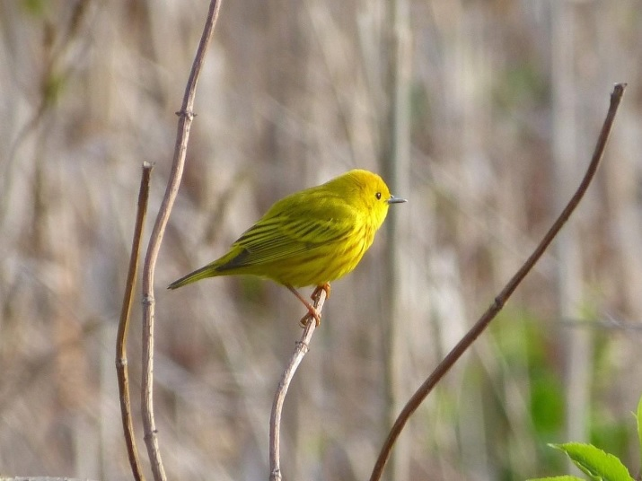 Bird Walk with Bob Mayer: Postponed until Sunday May 19, 8 – 9:30 AM