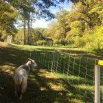 Goats Come to Bussey Brook Meadow